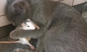 Cat Loves it's Rat