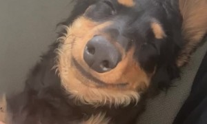 Dog Smiling While Receiving Belly Rub
