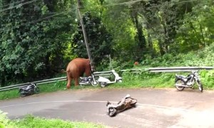 Wild Elephant Runs Over a Moped