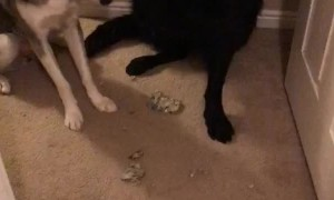 Dog Gives up Playmate for Destroying Carpet