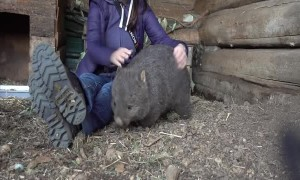 Wombat Cuddles at Trowunna Wildlife Sanctuary