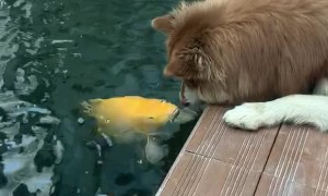 Dog Gets Kisses From Koi Fish
