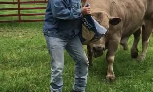 Man Dancing with His Massive Bull
