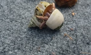 Hermit Crab Moving Between Homes