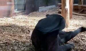 Sun Bear Rolls around in Enclosure