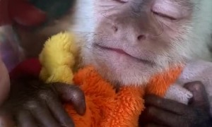 Baby Capuchin Monkey Needs a Nap