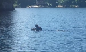 Mother Bear Swims with Cub atop Her Head