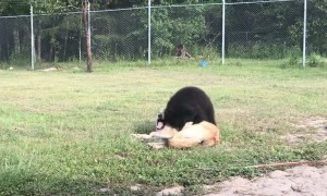 Adorable Play Session between a Lion, Wolf, and a Bear