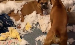Owners Come Home to Boxers and Bursted Couch
