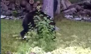 Acrobatic Bear