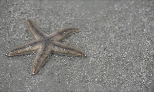 Gray Sea Starfish In Action