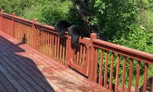 Black Bear Cubs Break Into Family Home
