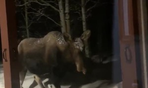 Moose Walks up to the Window at Moose Manor