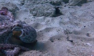 Playing Tug of War with an Octopus over GoPro