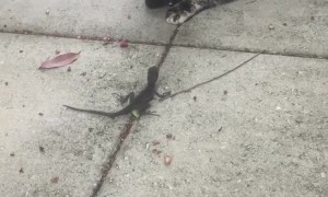 Confused cat tries to befriend wild lizard