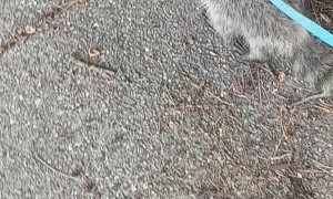 Cute Raccoon Has a Great Day