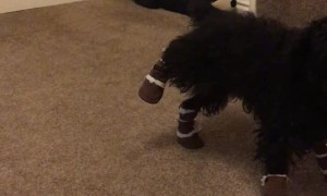 Doggy Doesn't Care for New Booties
