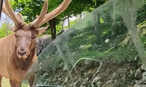 Elk Gets a Drive-By Snack