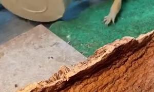 Silly lizard