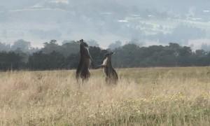 Kangaroos Tussle for Territory