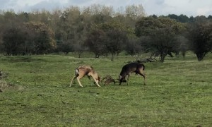 Two Fallow Deer Fighting for a Female