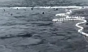 Sharks Eating Salmon Caught in Nets