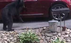Bear Checking If Car Is Unlocked