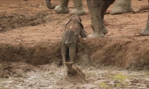 Elephants Urgently Rush Over To Save Baby