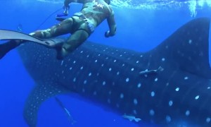 Scary Footage Shows Whale Shark Crashing Into Diver