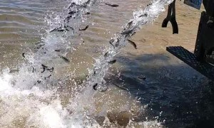 Fish Pouring Into Lake From Restocking Truck