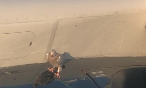 Pigeon Holds onto Plane Wing During Takeoff