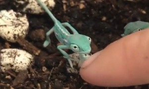Newly hatched chameleon meets human friend