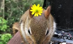 Friendly Baby Red Squirrel Wears Flower