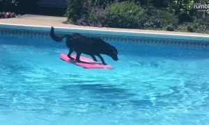 Clever Labrador dog uses wakeboard to fetch ball from pool