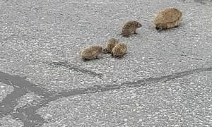 Mother Hedgehog Makes Sure Babies Follow Her