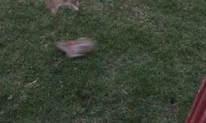 Bunnies Play Leap Frog in Backyard