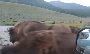 Caught in a Bison Crossing