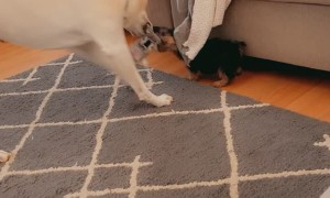 Dog Shows No Mercy to Puppy Playing Tug of War