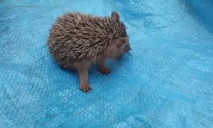 Cute Hedgehog Eating a Bug