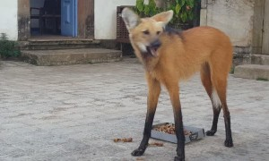 Maned Wolf has a Snack in Brazil