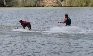 Watch this talented dog water ski better than most humans