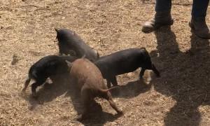 Piggy Pinwheel