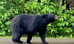 Bear Tries to Enter Scared Person's Car