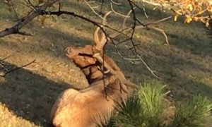 Clever Elk uses antlers to scratch his back