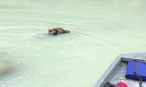 Bear Swims Out to Investigate Fishing Boat