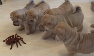Shar Pei puppies adorably team up and take on a robot spider