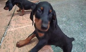 Doberman puppies go swimming for the first time and it's adorable