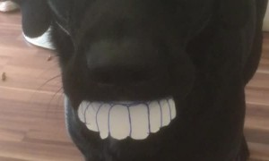 Lab's Smile is Fresh from the Dentist