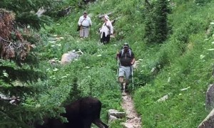Moose Meanders Across Hiking Trail
