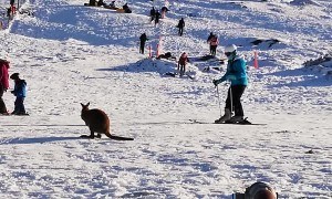 Wallaby Takes to the Slopes in Tasmania
